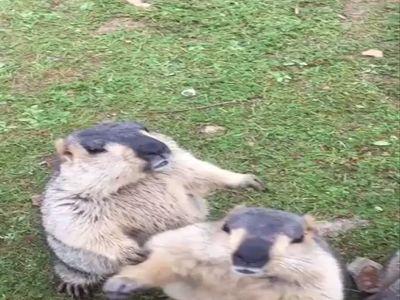 Groundhog salvi