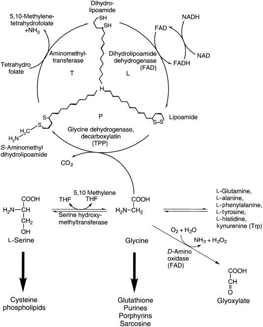 Mis on Chondroitiinis ja glukoosamiinis Ingveri liigesevalu